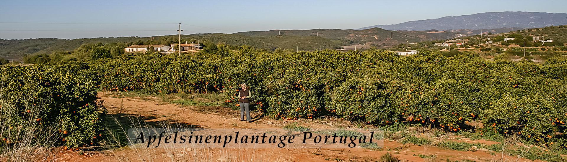 Apfelsinenplantage