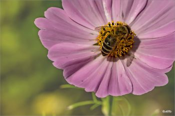 Honigbiene-Carnica