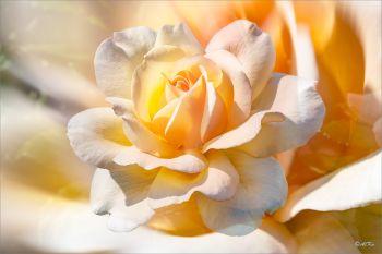 Rosenblüte-gelb